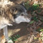 loup zoo peaugres